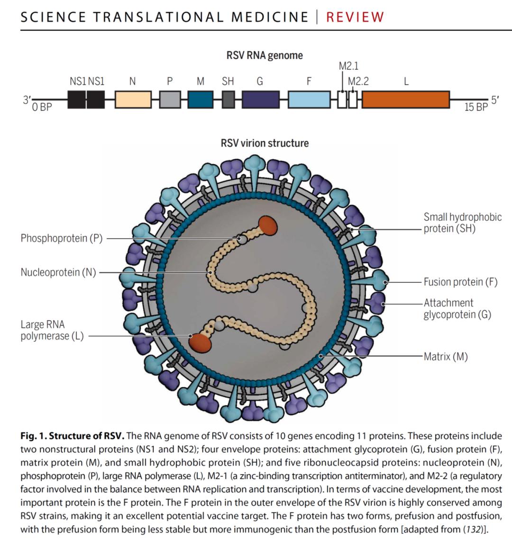 可为和有为,呼吸道症候群病原体检测系列抗原详解——呼吸道合胞病毒抗原